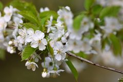Fruit blossom in spring Stock Photo