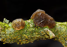 Fruit bodies of Witches` butter on rotting branch Stock Images