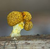 A fruit body of a slime mold Physarum polycephalum. A fruit bodies of a slime mold, or myxomycete, Physarum polycephalum, look like a multi-head mushroom. Slime stock photography