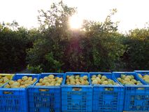 Free Fruit Boxes Full Of Lemon. Workers Picking Lemons And Carrying The Basket To Collect The Lemon Into The Box Murcia, Spain Royalty Free Stock Photography - 183669987