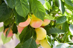 Fruit on a branch. Yellow plums on a branch among green leaves Royalty Free Stock Image