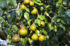 Pears On Tree Branch. Fruit  branch  ripe  agriculture  green  organic  leaf  tasty  food  pears Stock Image