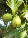 Breadfruit tree. Fruit of the Breadfruit tree Artocarpus altilis in tropical Stock Photos