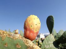 Fruit cactus Indian. The fruit of a cactus Indian summer in Turkey Royalty Free Stock Images