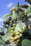 Fruit cactus Opuntia Stock Photos