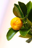 The fruit of calamondin Royalty Free Stock Photography