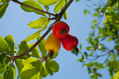 The fruit of the cashew tree. Red and yellow fruit of the cashew on the green tree against the sky stock photo
