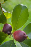 Fruit of Cattley guava or Peruvian guava (Psidium littorale susp Royalty Free Stock Photo