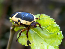 Fruit Chafer Beetle Royalty Free Stock Image