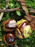 Fruit of the chestnut Royalty Free Stock Photos