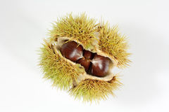 Fruit of chestnut Stock Photos