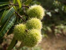 Fruit of the chestnut. Chestnut with unripe fruit. Photo taken in Las Medulas (El Bierzo). Spain stock photos