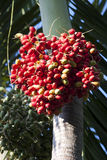 Fruit of the Christmas Palm Stock Photography