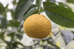 The fruit of the citrus royalty free stock photography