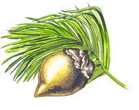 Fruit of a Coco de Mer. (Lodoicea maldivica) - the greatest seeds in the world stock illustration