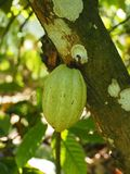 The fruit of the cocoa tree, the pod, on the island of Martinique stock image