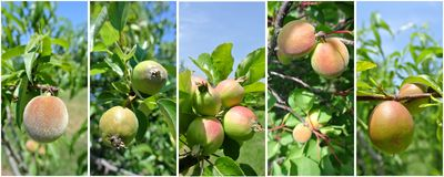 Fruit collage - unripe green nectarines, peaches, apricots, apples and pears on the tree Royalty Free Stock Images