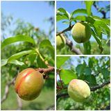 Fruit collage - unripe green nectarines, peaches and apricots on trees in the orchard Stock Image