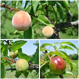 Fruit collage - unripe green nectarines, peaches and apricots on trees in the orchard Royalty Free Stock Photos