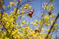 Fruit coloré mûr de grenade sur la branche d'arbre sur le ciel bleu Photos libres de droits