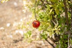 Fruit coloré mûr de grenade sur le branchement d'arbre Images libres de droits