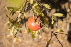 Fruit coloré mûr de grenade sur le branchement d'arbre Photographie stock