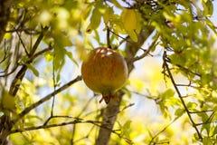 Fruit coloré mûr de grenade sur le branchement d'arbre Photos libres de droits