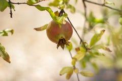 Fruit coloré mûr de grenade sur le branchement d'arbre Image stock