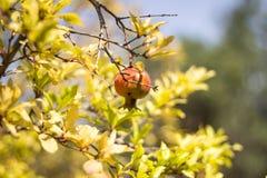 Fruit coloré mûr de grenade sur le branchement d'arbre Images stock