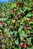 Fruit comestible de forêt Photo libre de droits