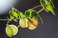 Fruit Creeper blue background horizontal image , Thailand, Asia Stock Photo