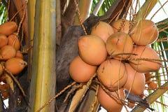 Fruit cru frais de noix de coco sur l'arbre de noix de coco dans l'Inde du Kerala Images stock