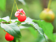 Fruit décoratif sur l'arbuste dans la région de Moscou de forêt d'été Photo libre de droits