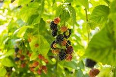 Fruit d'été Photos stock