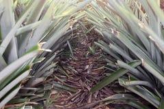 Fruit d'ananas dans la plantation photo stock