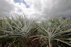Fruit d'ananas dans la plantation photos stock