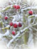Fruit d'aubépine, Lithuanie Images libres de droits