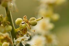 Fruit d'oeil rangé de Longan ou de dragon après pollinisation à la ferme biologique images libres de droits