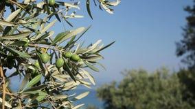 Fruit d'olive verte sur le bord de la mer banque de vidéos