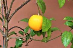 Fruit d'orange de citron Photo libre de droits