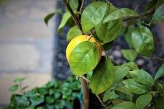 Fruit d'orange de citron Photos libres de droits