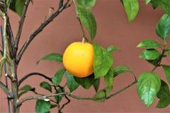 Fruit d'orange de citron Image libre de droits