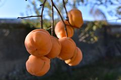 Fruit d'orange de kaki Image stock
