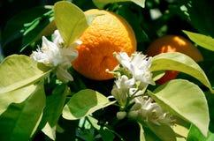 Fruit d'une mandarine et de la floraison mûre sur un arbre Bonne récolte, vitamines, nourriture saine photos libres de droits