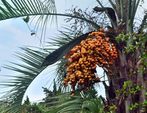 The fruit of the date palm dates Royalty Free Stock Images