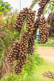 Fruit of Date Palm Stock Image