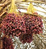 Fruit, Date Palm, Produce, Food Royalty Free Stock Image