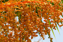 Fruit of  date palm tree Royalty Free Stock Photo
