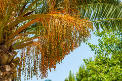Fruit of  date palm tree Stock Image