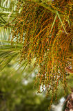 Fruit of date palm tree Stock Images